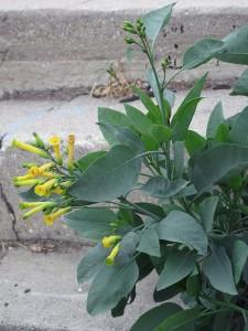 Nicotiana_glauca_flowers