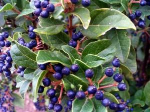 640px-Viburnum_tinus_Fruits_Closeup_DehesaBoyalPuertollano