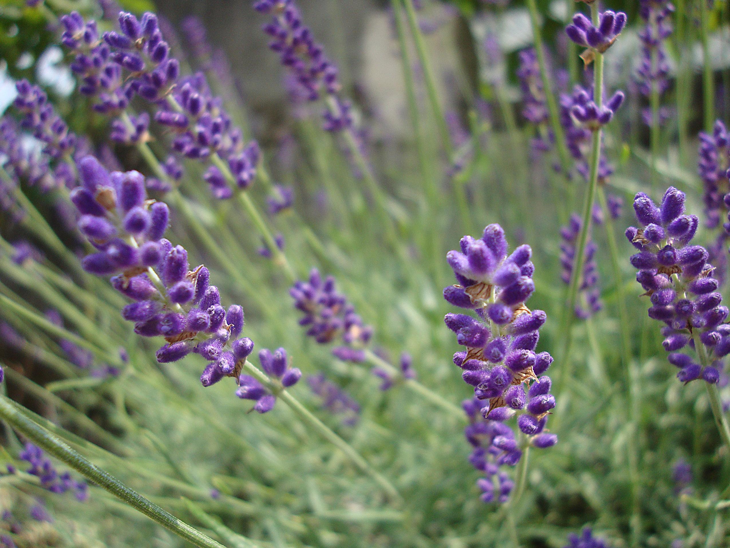 Lavanda el arte del perfume revista cultivarsalud for Lavanda cultivo o cuidados