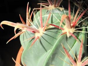640px-Ferocactus_latispinus_spines