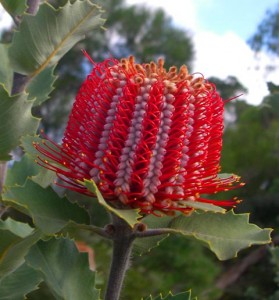 Banksia_coccinea_AD_MB