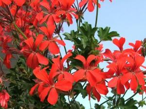 Reproduccion asexual de las plantas esquejes de pelargonium