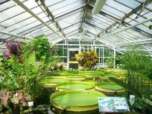 Botanischer_Garten_BS.Seerosen