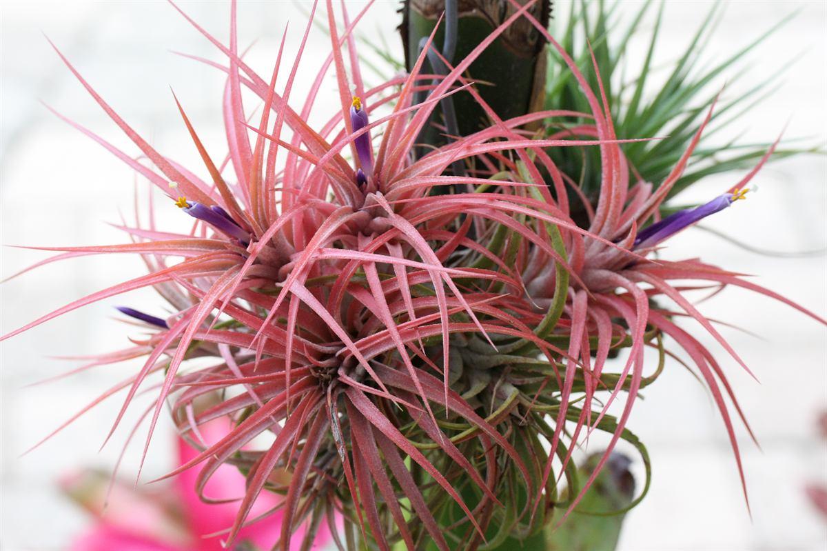El fascinante mundo de las plantas de aire revista for Tillandsia pianta