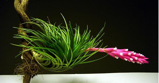 El fascinante mundo de las plantas del aire ecotonioecotonio for Algunas plantas ornamentales