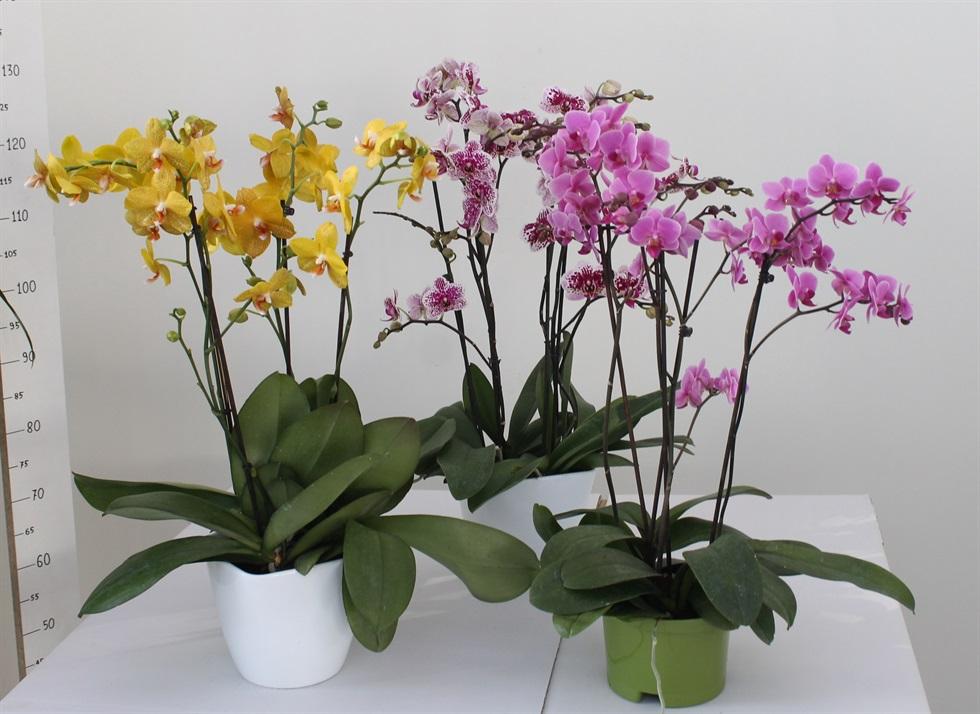 Las 10 Plantas De Interior Mas Duraderas Revista Cultivarsalud - Plantas-interior-con-flor