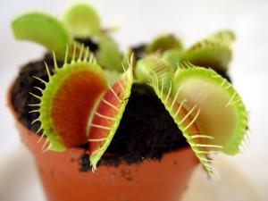 Dionaea