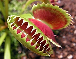 Dionaea_muscipula_