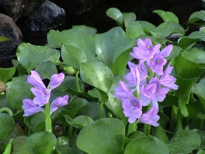 Eichhornia_crassipes