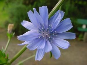 planta achicoria