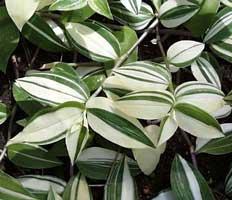 tradescantia-fluminensis variegata.