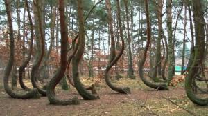 El-extrano-bosque-de-pinos-torcidos