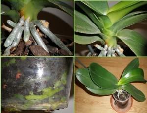 Orquideas-Phalaenopsis-maceta-raices-hojas