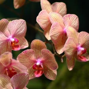 Phalaenopsis_hybrid_yellow_and_pink