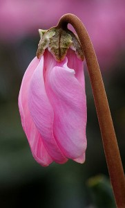 362px-Cyclamen_persicum_Mill_08DEC06