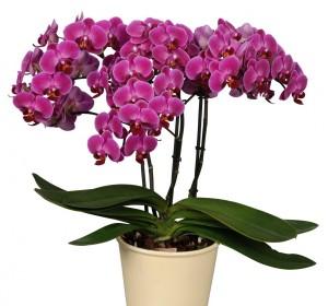 Phalaenopsis-Anthura-Morelia-–-photo-Anthura